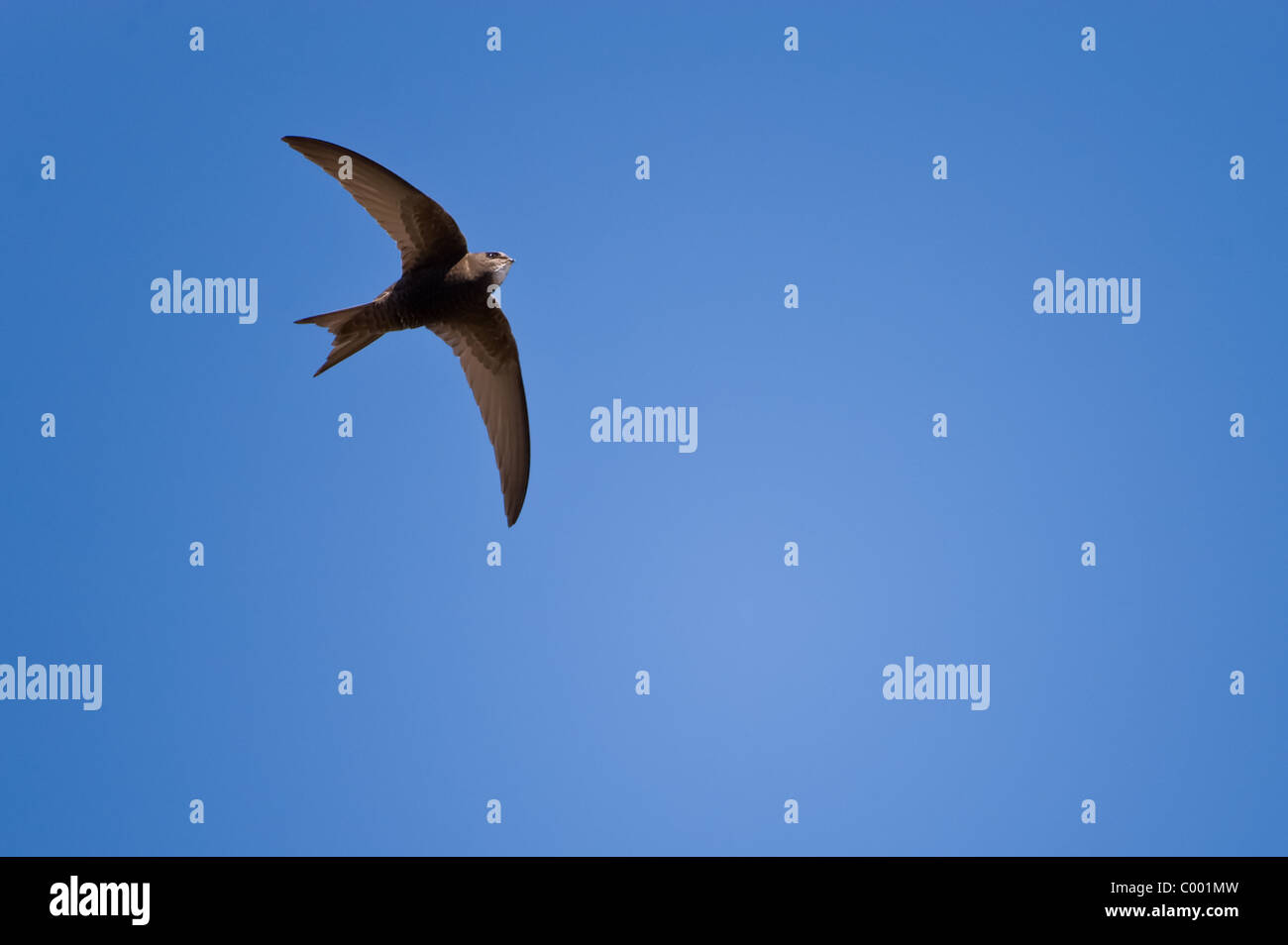 common swift, Apus apus, black martin - Stock Image