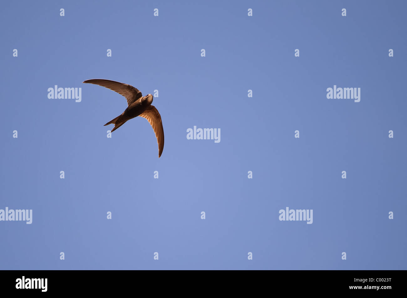 flying common swift or black martin Apus apus - Stock Image