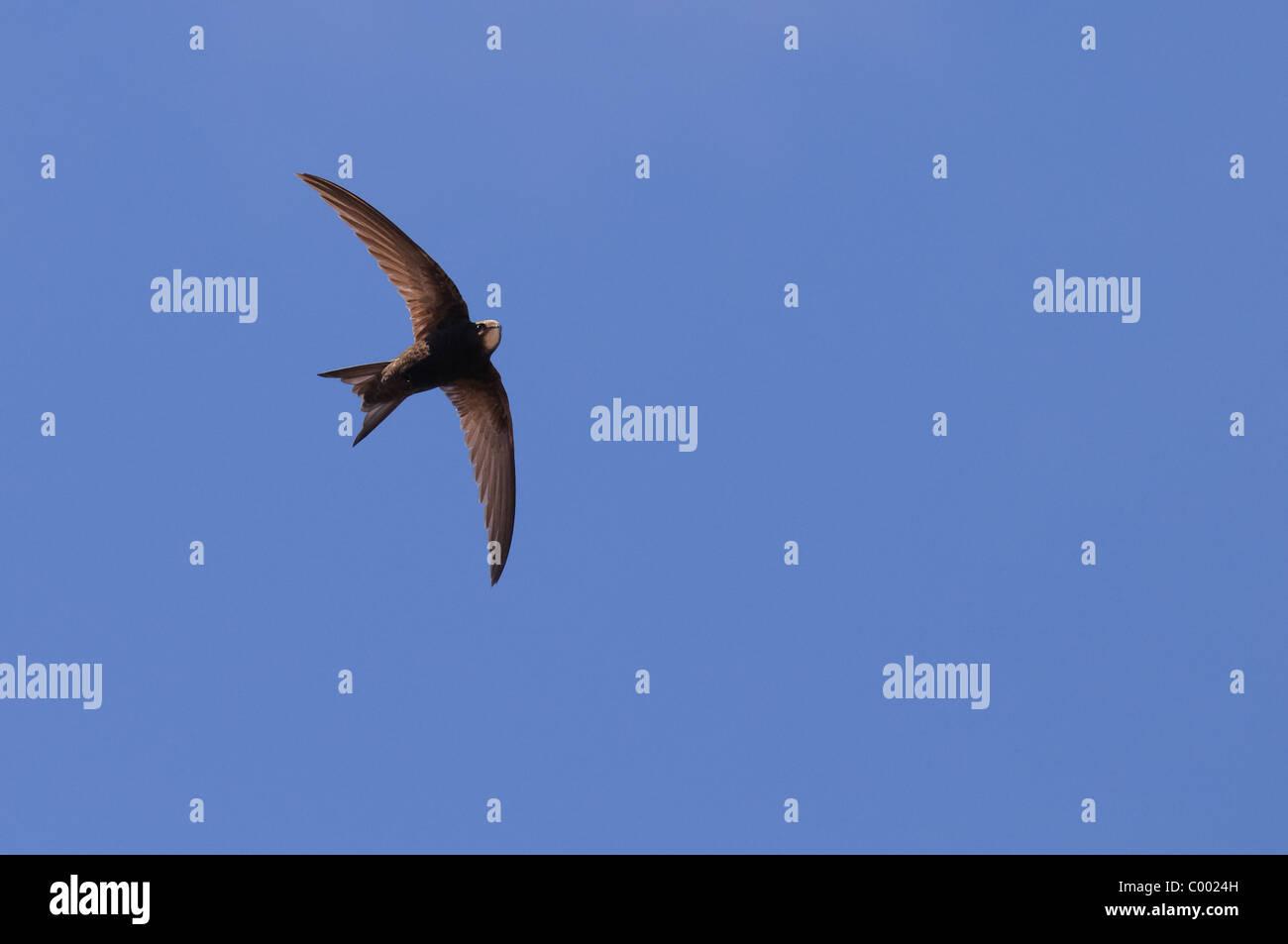 flying common swift or black martin Apus apus Stock Photo