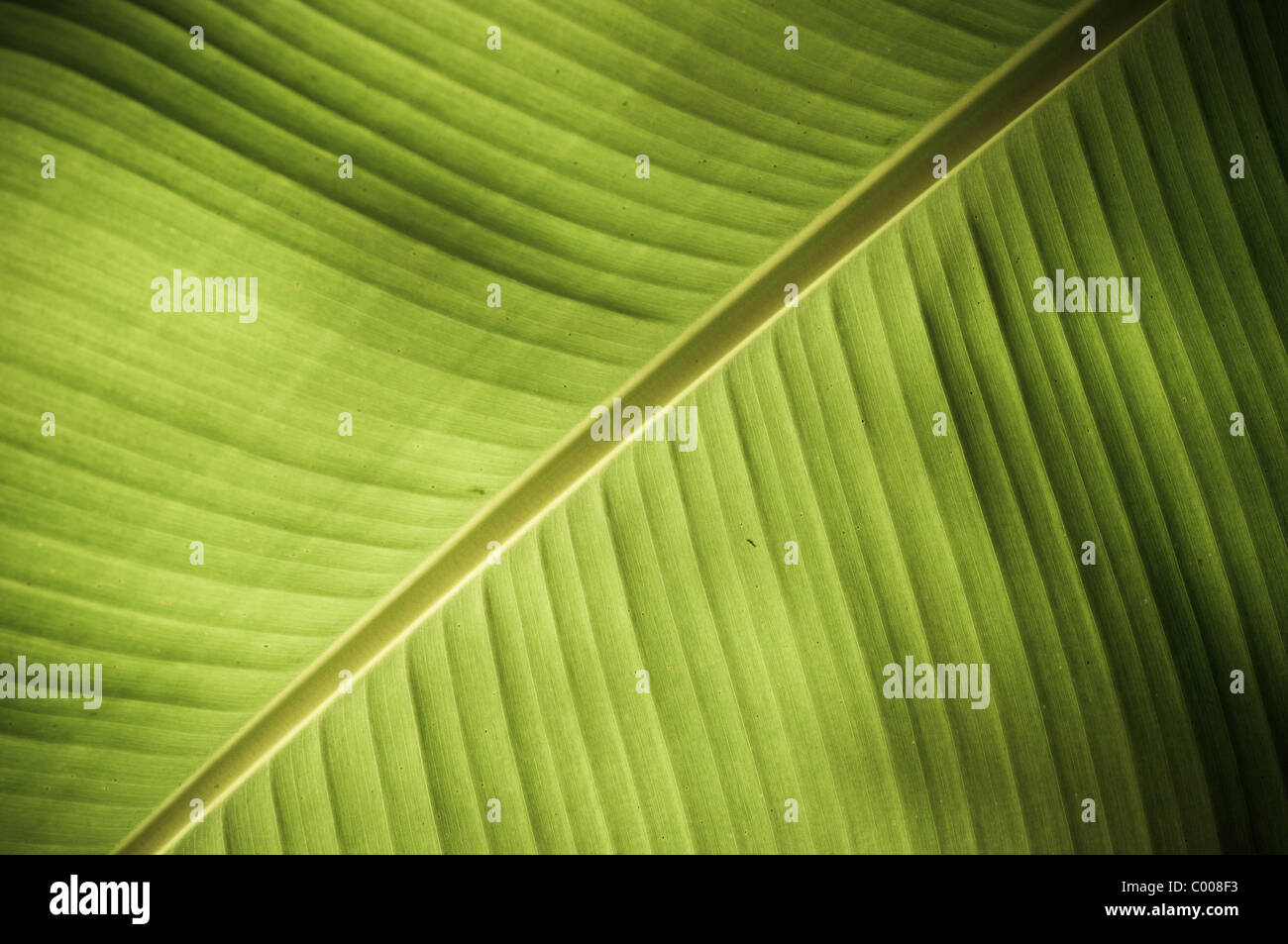 Intricate texture revealed in a fresh green leaf - Stock Image