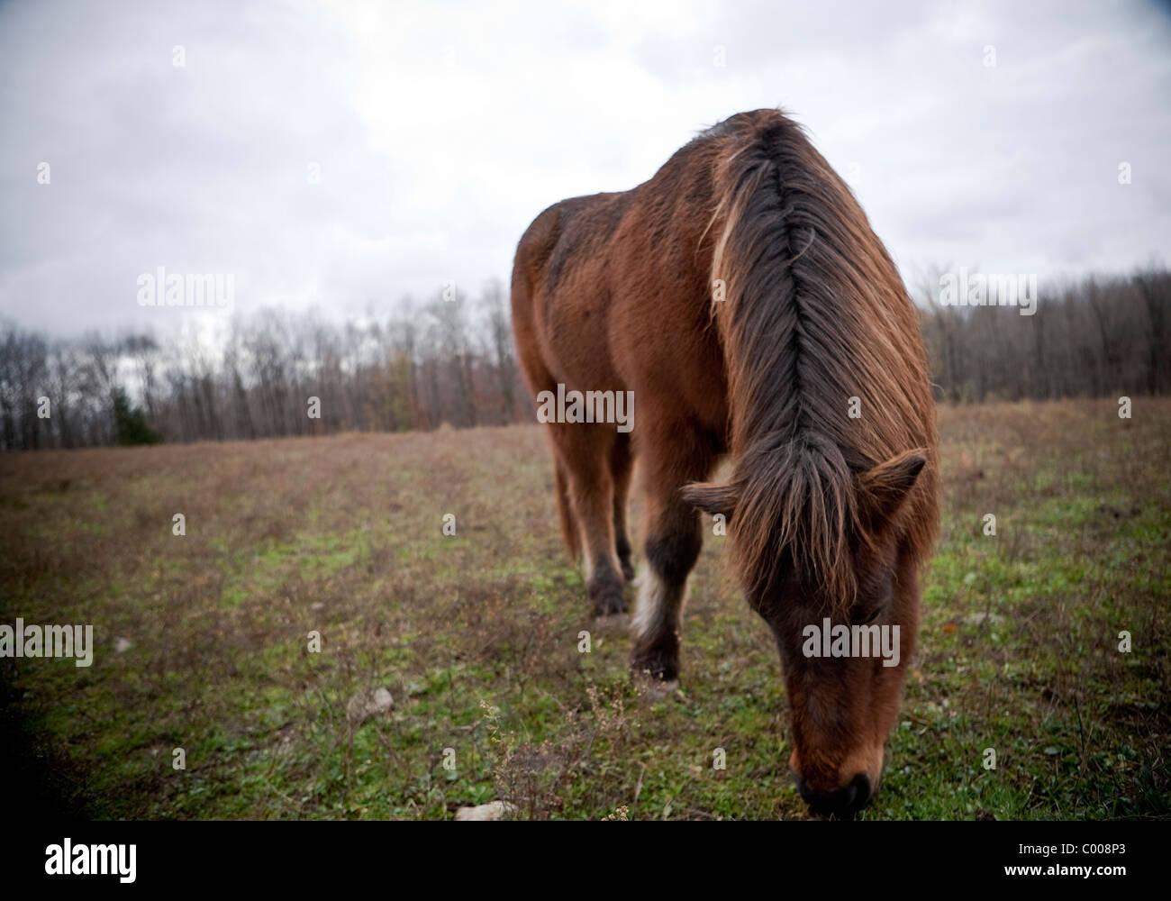 Sand Meadow Farms Icelandic Horses - Stock Image