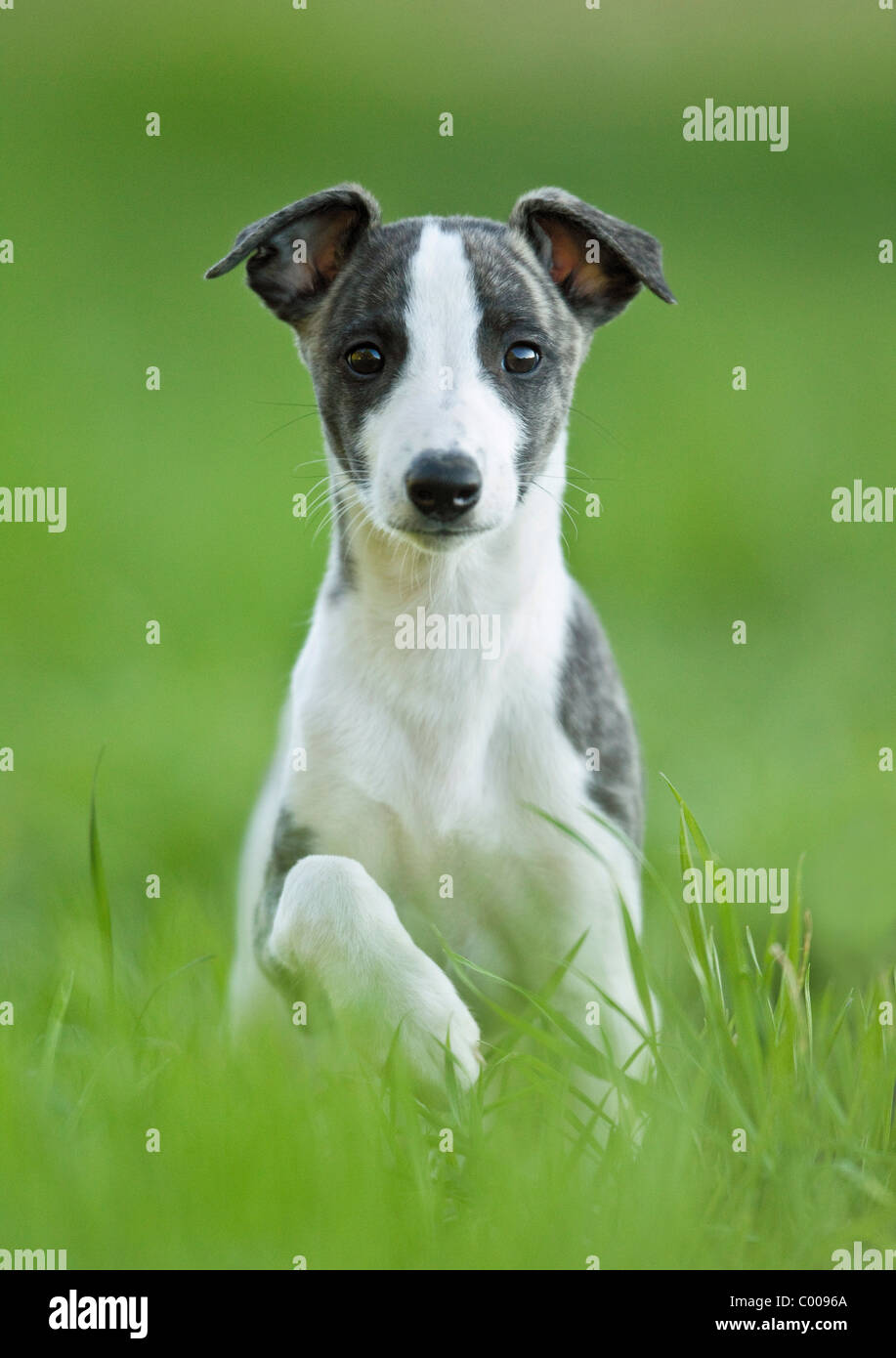 Whippet dog - puppy sitting on meadow Stock Photo