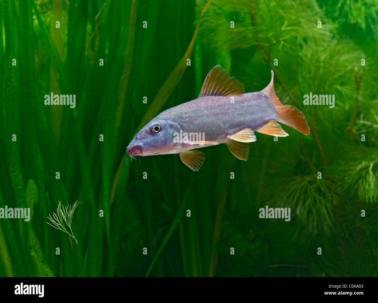 Red Tailed Blue Botia Orange Finned Loach Tropical Freshwater Stock Photo Alamy