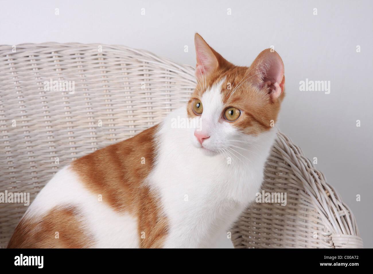 Hauskatze, dunkelrot-weiss, im Korbsessel, Felis silvestris forma catus, Domestic-cat, red-white, basket chair - Stock Image
