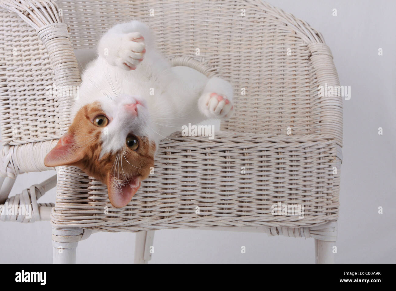 Hauskatze, dunkelrot-weiss, liegende, Felis silvestris forma catus, Domestic-cat, red-white, lying - Stock Image