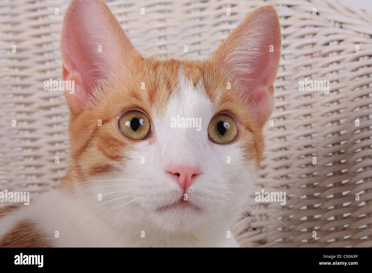 Hauskatze, Portrait, Felis silvestris forma catus, Domestic-cat Stock Photo