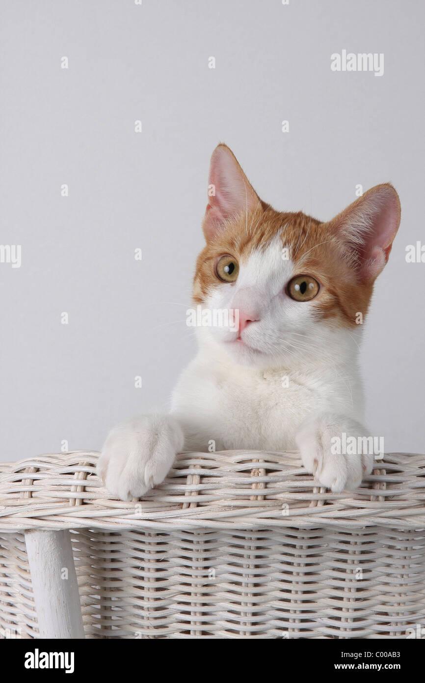Hauskatze, schaut interessiert, Detailaufnahme, Felis silvestris forma catus, Domestic-cats, looks interestedly Stock Photo