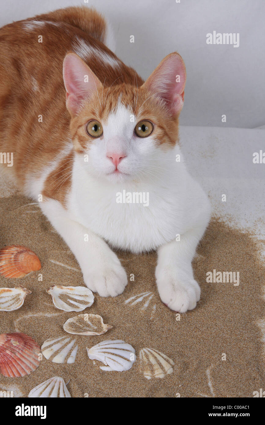 Hauskatze, schaut aufmerksam, Felis silvestris forma catus, Domestic-cat, looks attentively - Stock Image