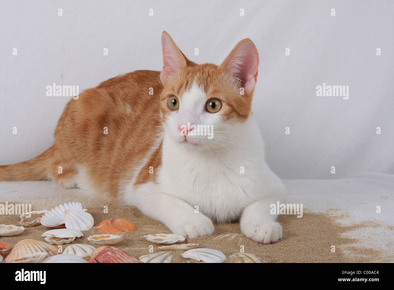 Hauskatze, mit sommerlicher Dekoration, Felis silvestris forma catus, Domestic-cat, with summerly decoration - Stock Image