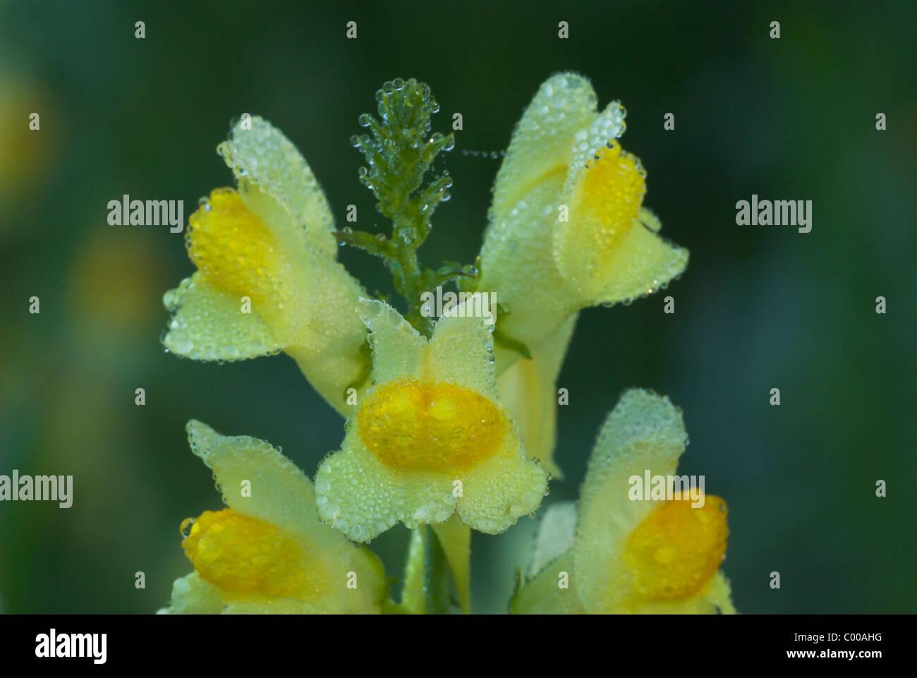 Gemeines Leinkraut, Echtes Leinkraut, Kleines Loewenmaul, Bluetenstand, Linaria vulgaris, Common Toadflax, Blossom Stock Photo