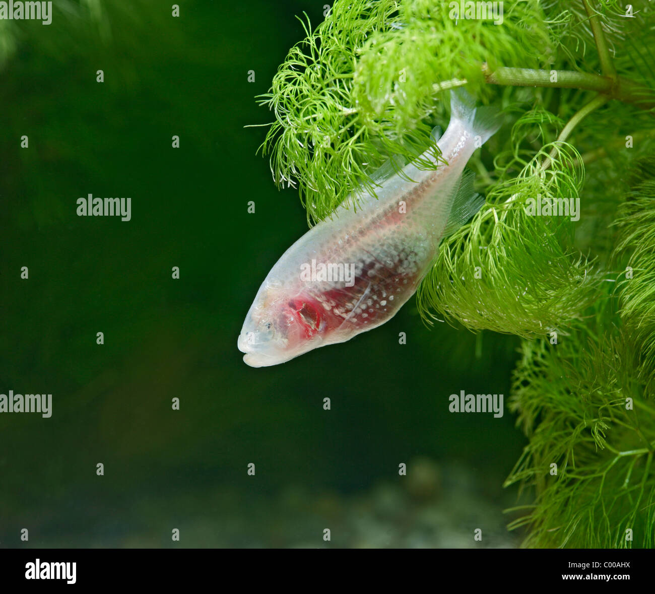 Blind Cave Fish Stock Photos & Blind Cave Fish Stock Images - Alamy