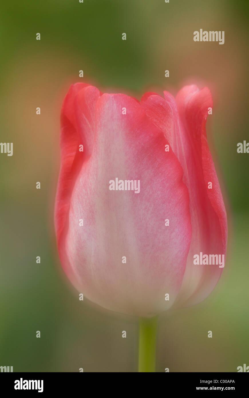 Tulpe, Tulipa spec., Tulips, Zuechtung, Strain, Variety - Stock Image