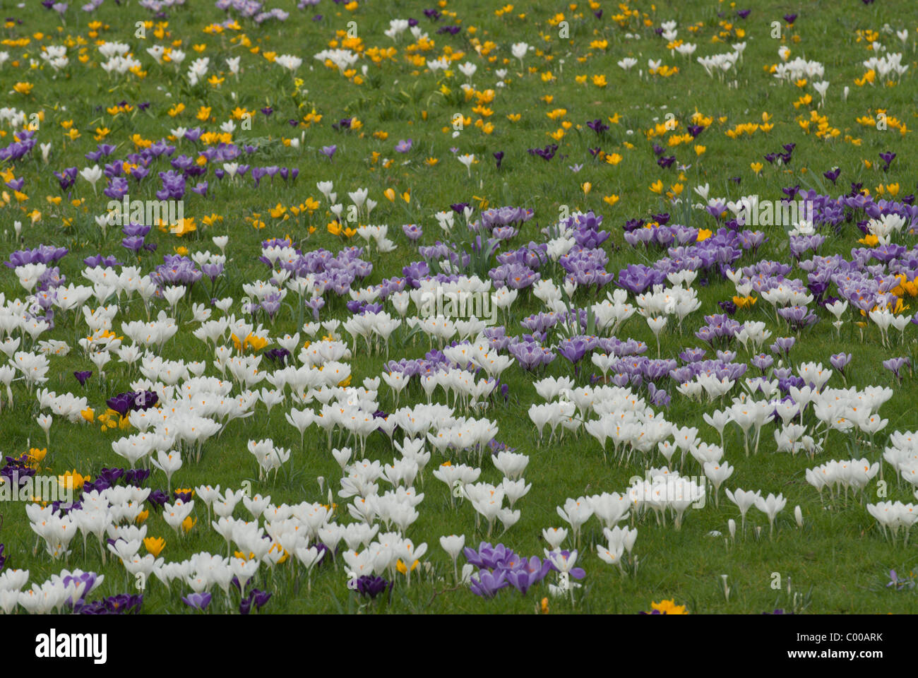 Krokusse, Crocus sativus, Crocus - Stock Image