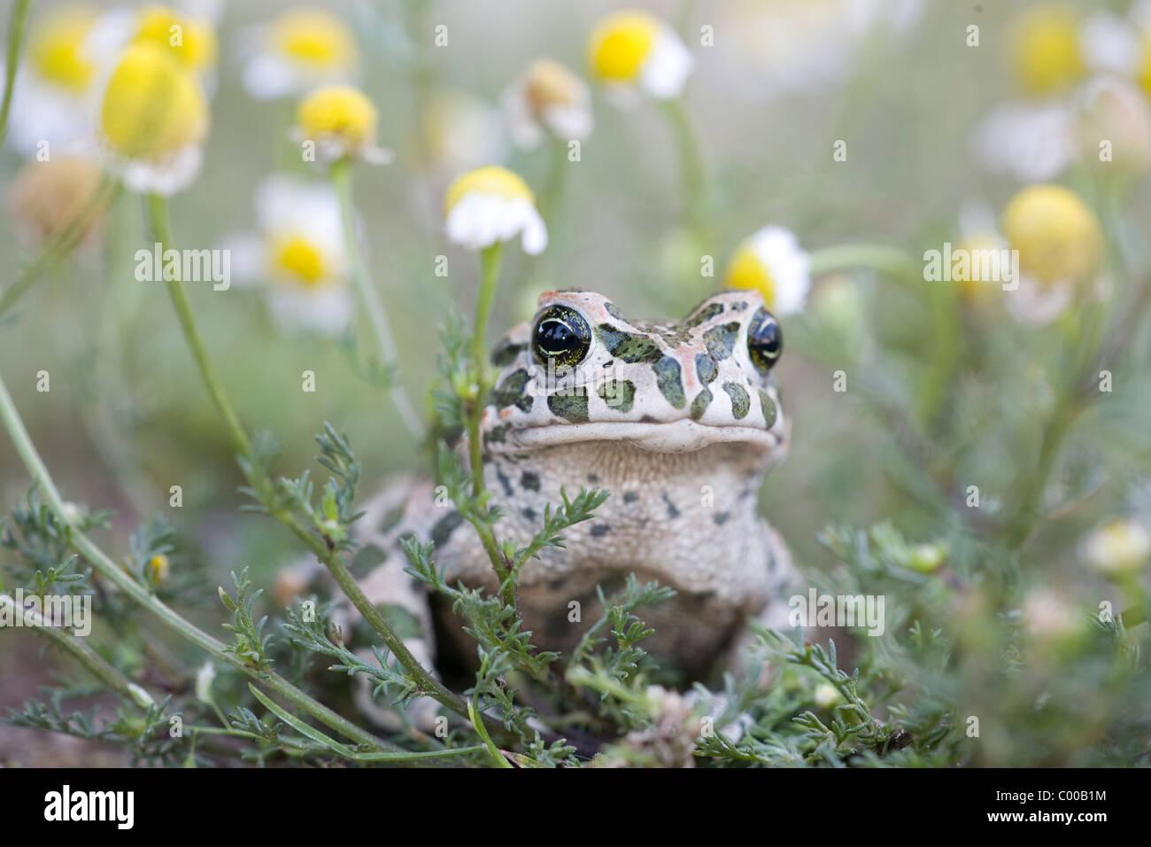 (European) green toad [Bufo viridis] - Stock Image