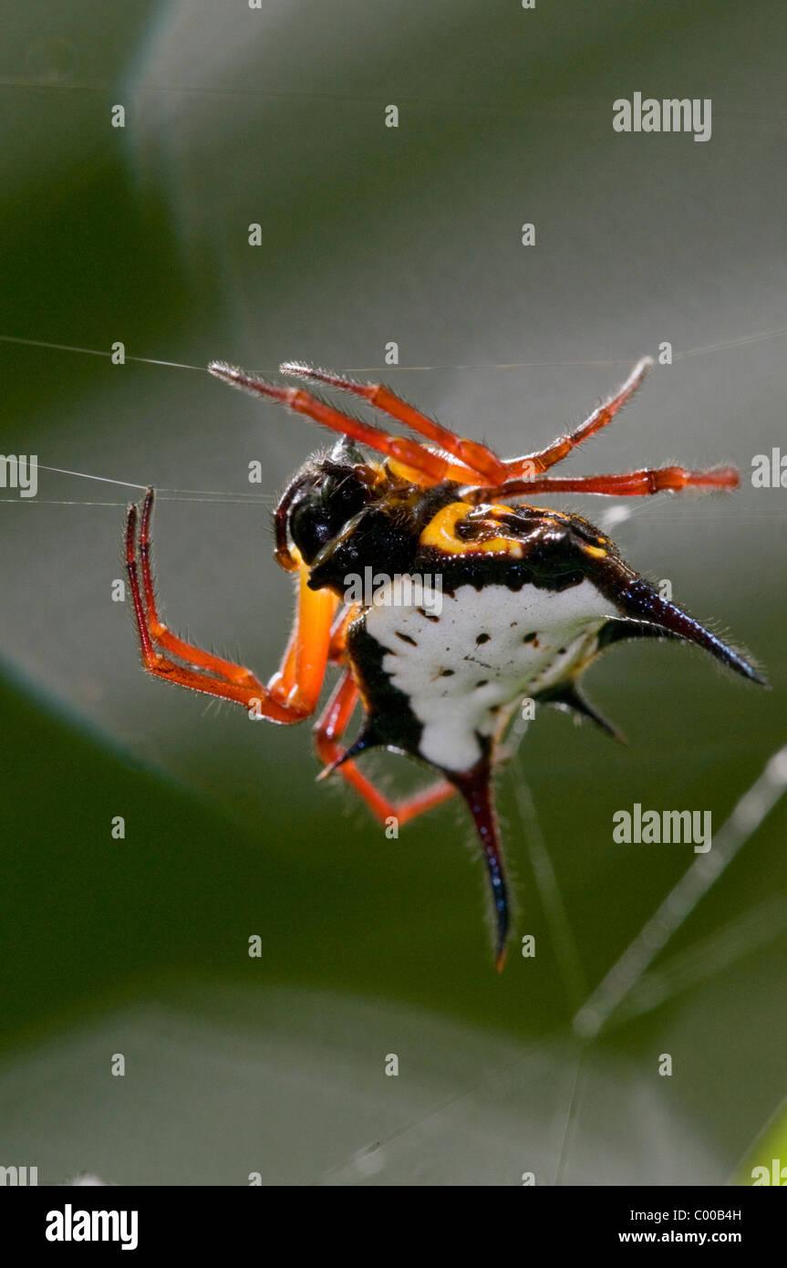 Spinne im Netz, Spider in web, Sulawesi, Indonesien, Indonesia - Stock Image