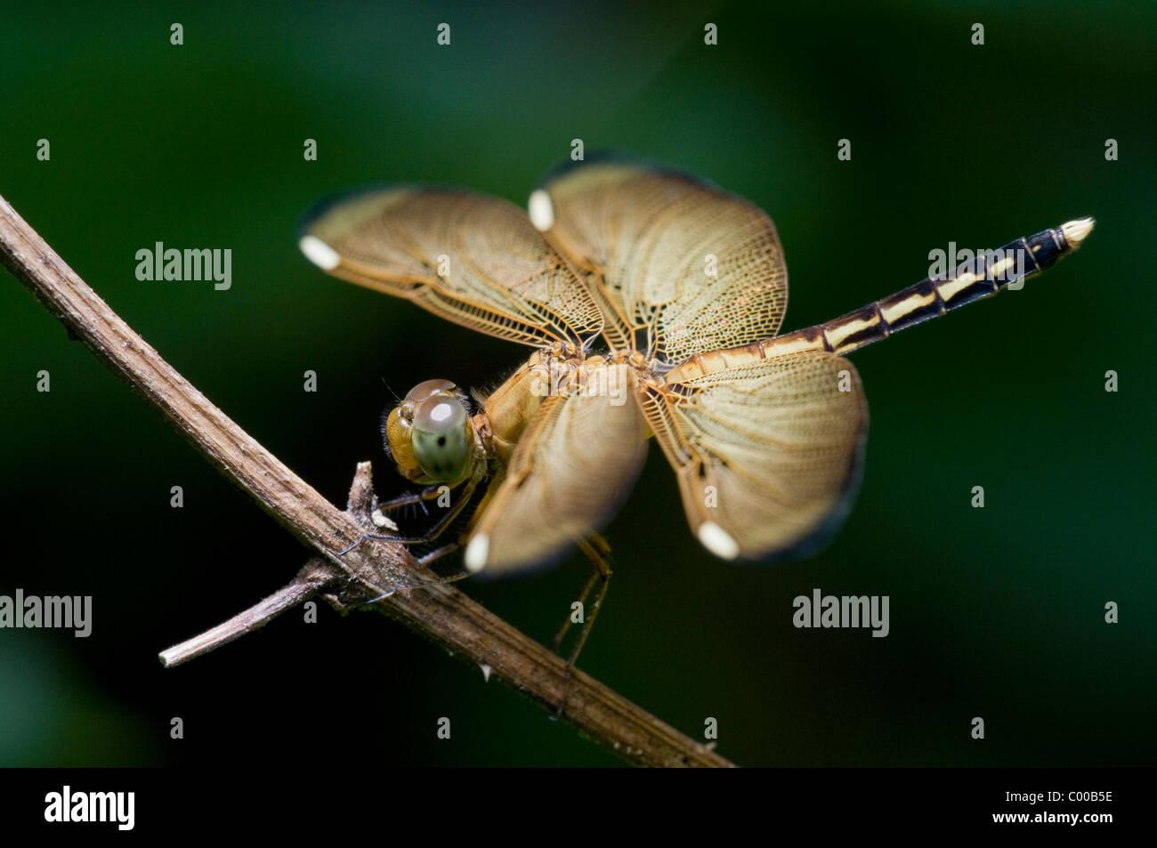 Libelle, Odonata, Dragonfly, Sulawesi, Indonesien, Indonesia - Stock Image