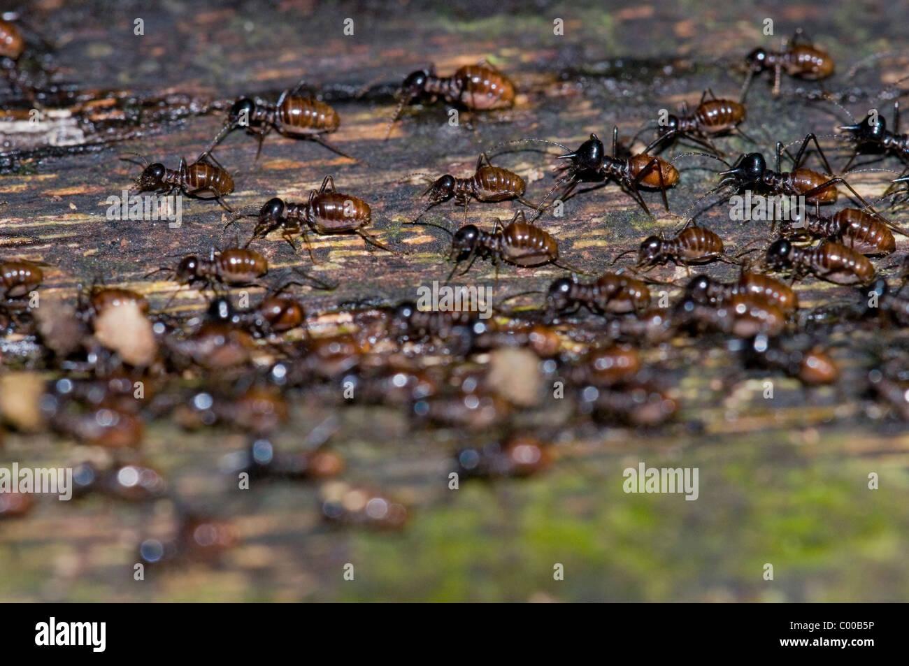 termiten isoptera termites tanjung puting nationalpark borneo indonesien indonesia