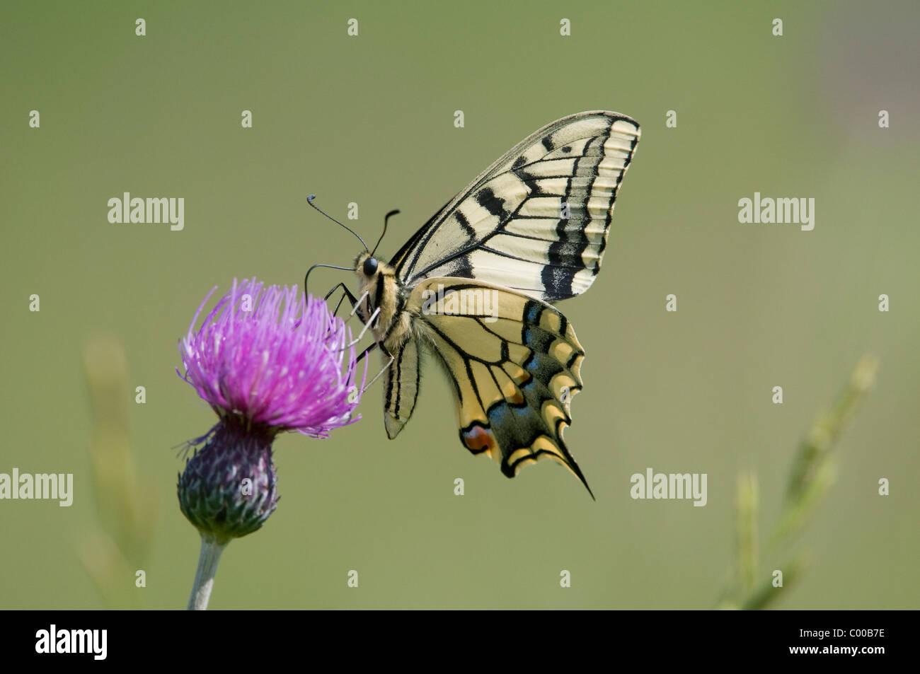 Schwalbenschwanz, auf einer Distel, Papilio machaon, Common Yellow Swallowtail, on thistle, Deutschland, Germany - Stock Image