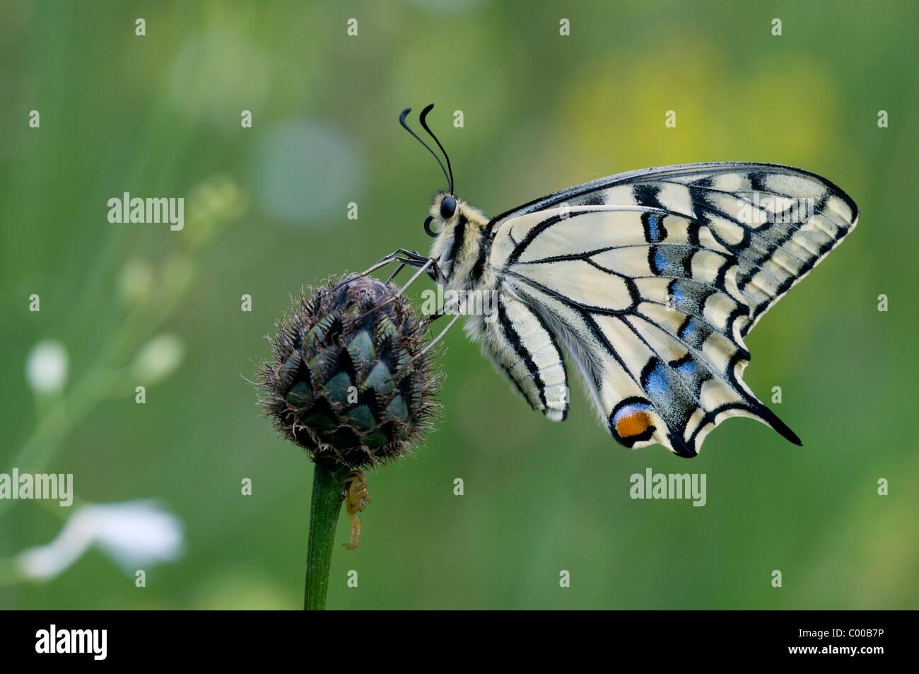 Schwalbenschwanz, Papilio machaon, Common Yellow Swallowtail - Stock Image