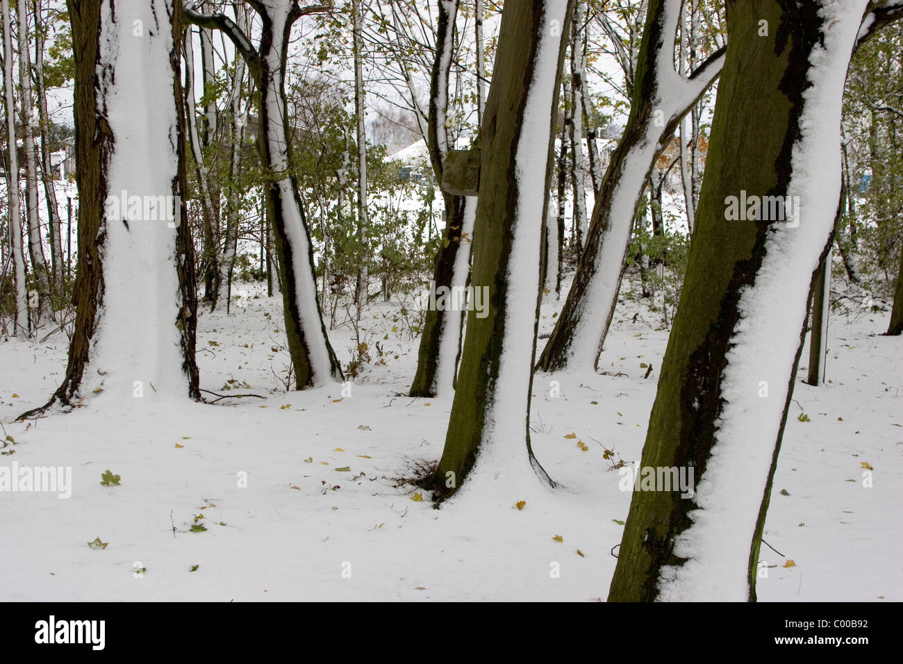 Baeume nach Schneetreiben, Trees after blowing snow Stock Photo
