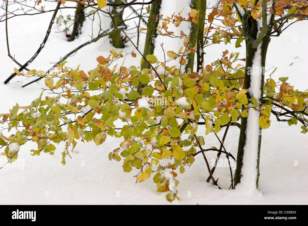 Junger Buchenbaum im Winter, Fagus sylvatica, young Beech tree wood in winter Stock Photo