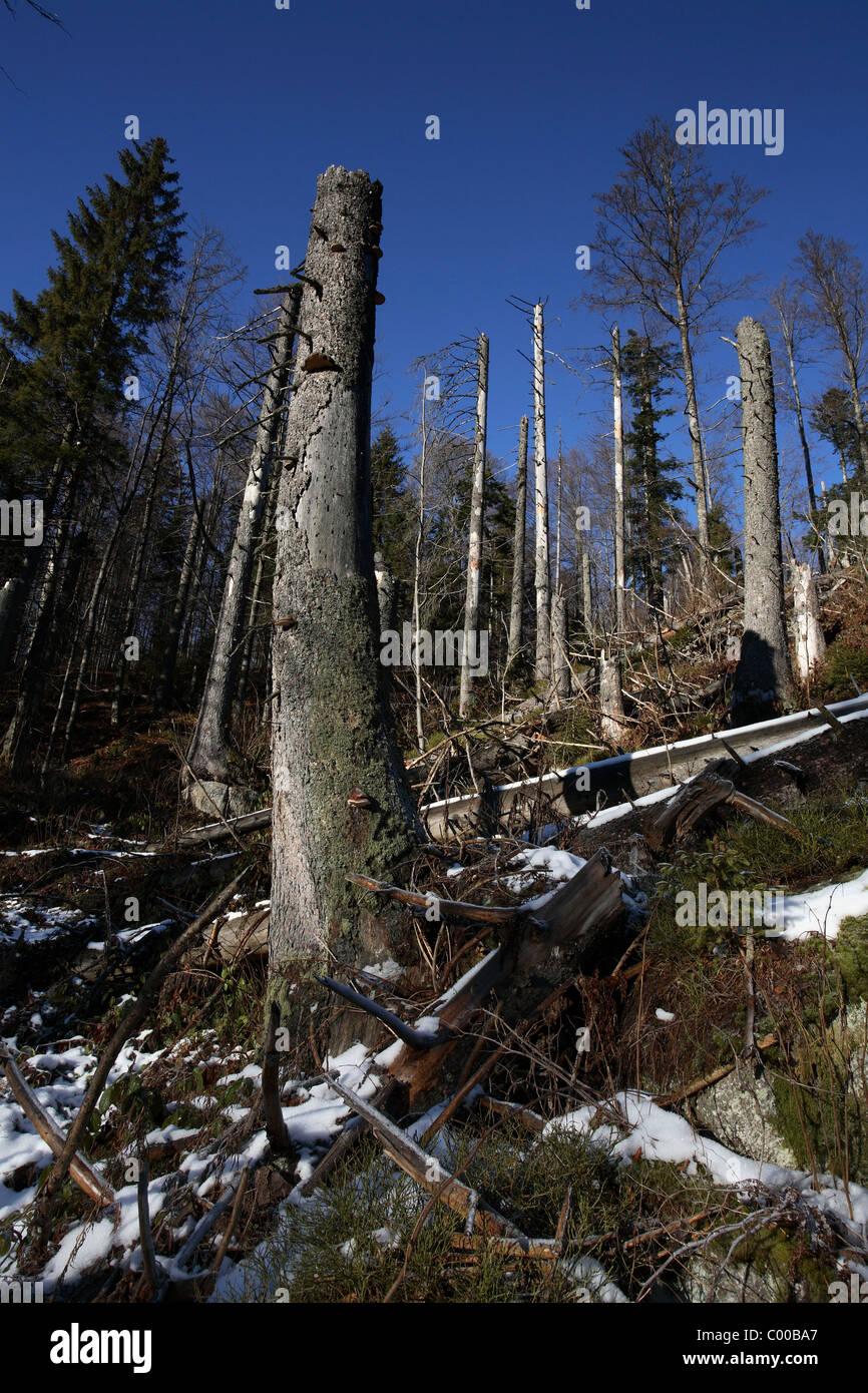 Bergfichten abgestorbene, Picea abies, Pine Tree, NP Bayerischer Wald, Bayern, Bavaria, Deutschland, Germany Stock Photo