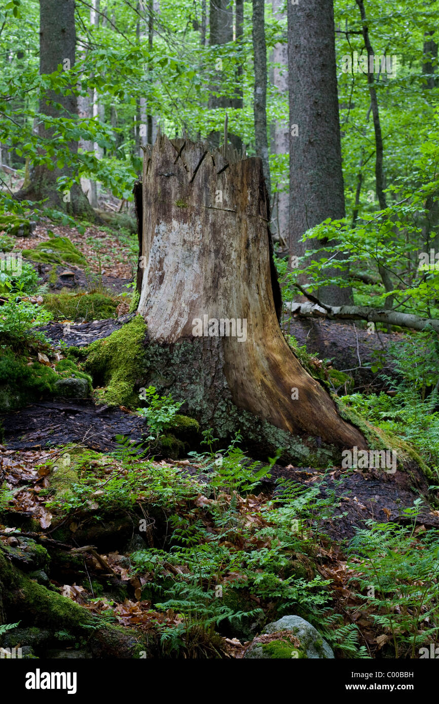 primeval german forest roots Stock Photo
