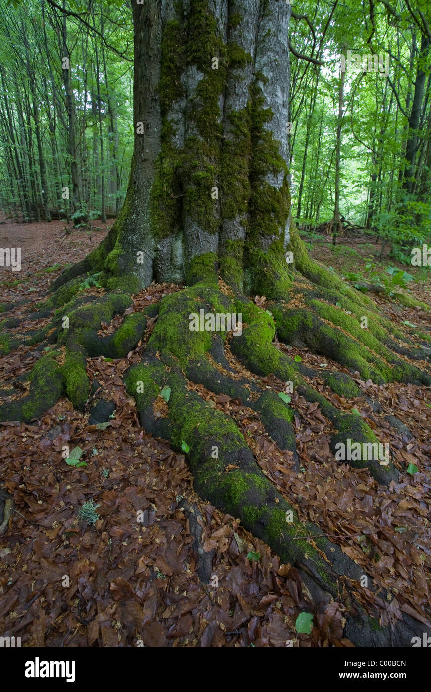 primeval german forest roots - Stock Image