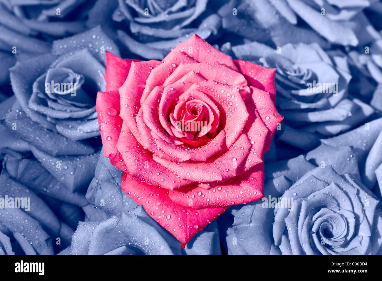 A beautiful singular pink rose in the middle of a bed of blue roses. - Stock Image