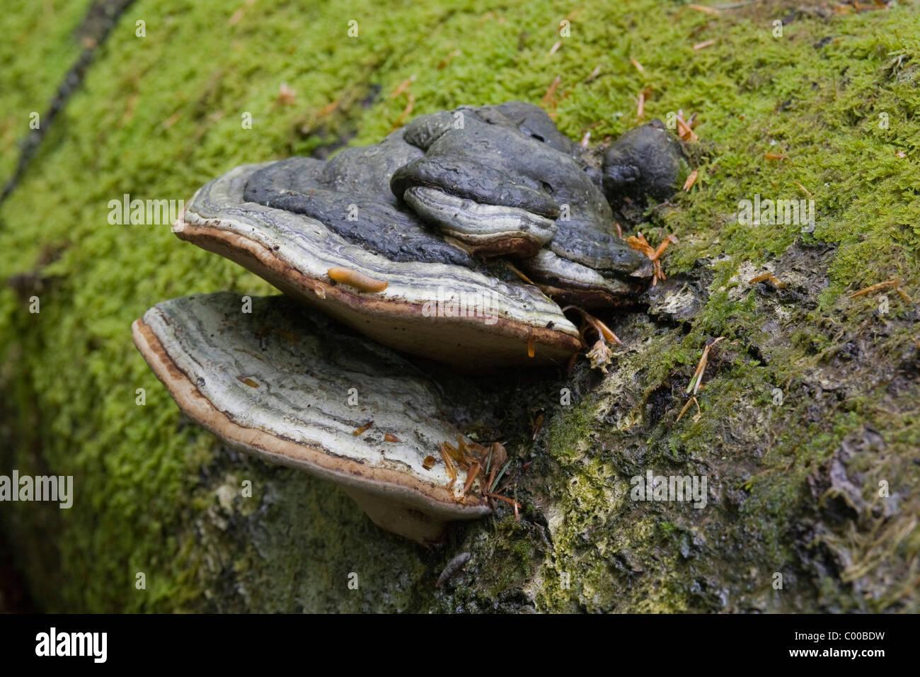 Porlinge an eine abgestorbenen Bergfichte, Polyporus, Dead spruce, Primeval forest, Urwaldgebiet Mittelsteighuette - Stock Image