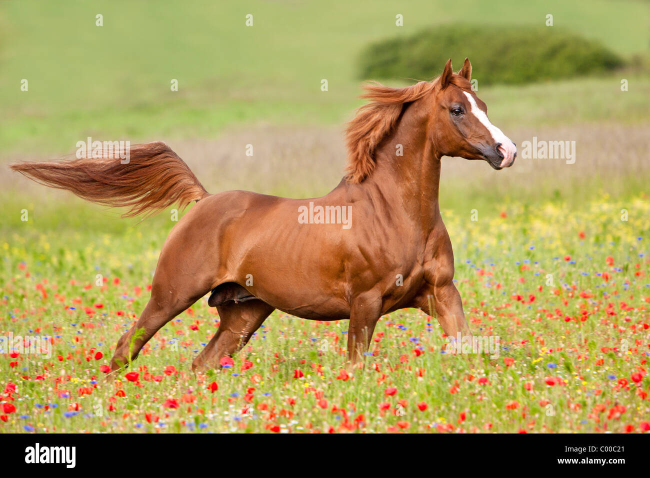 Arabian Horses Running High Resolution Stock Photography And Images Alamy