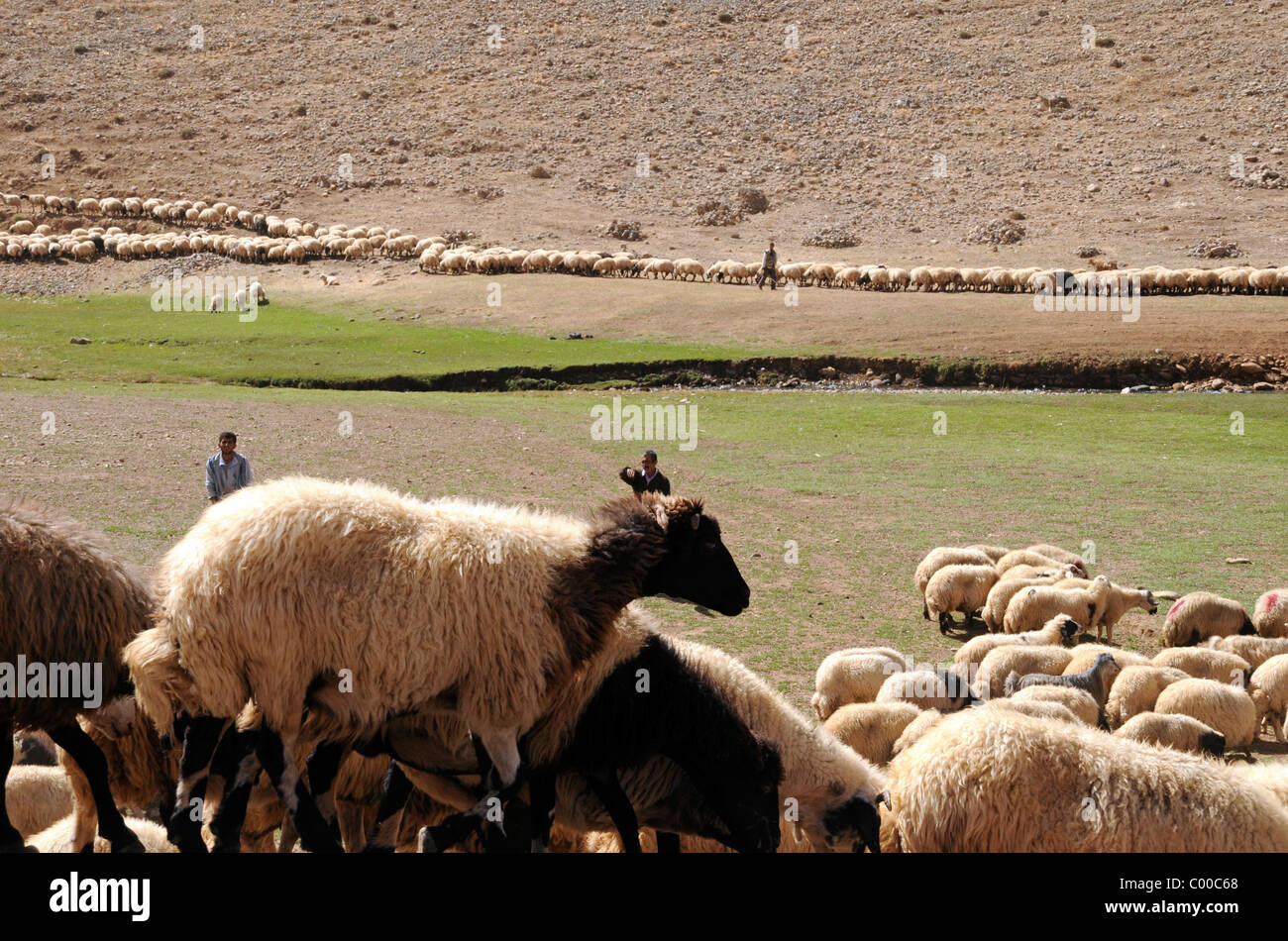Nomadic Kurdish shepherds and their flocks of sheep in the mountains in the Lake Van region of Turkey's southeast. - Stock Image