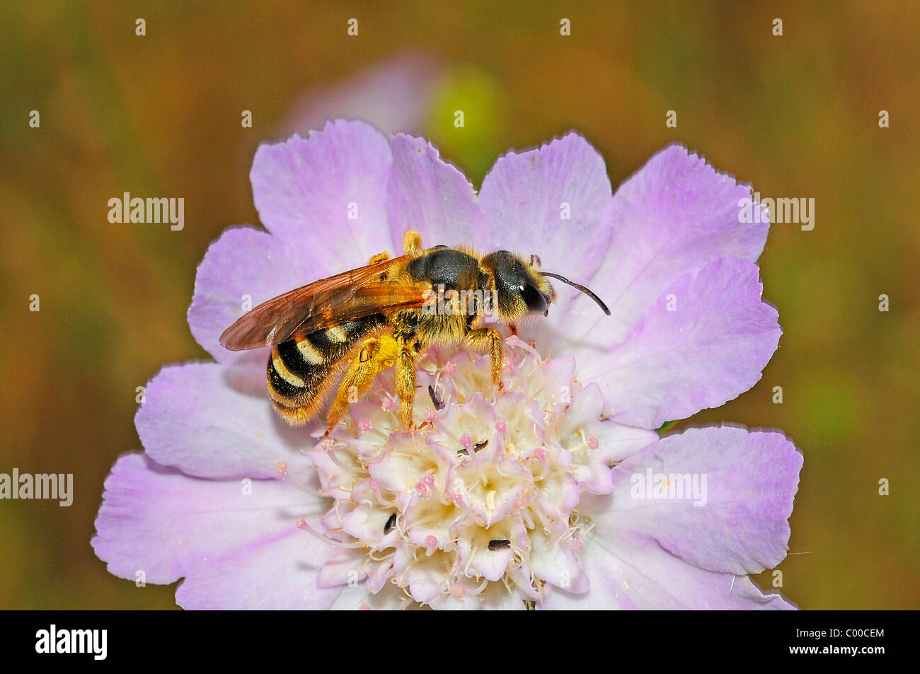 sweat bee on blossom - Stock Image