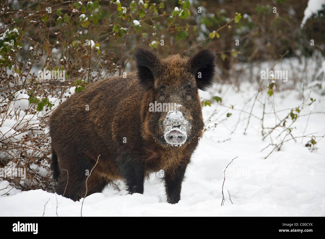 female wild boar - standing in snow / Sus scrofa - Stock Image