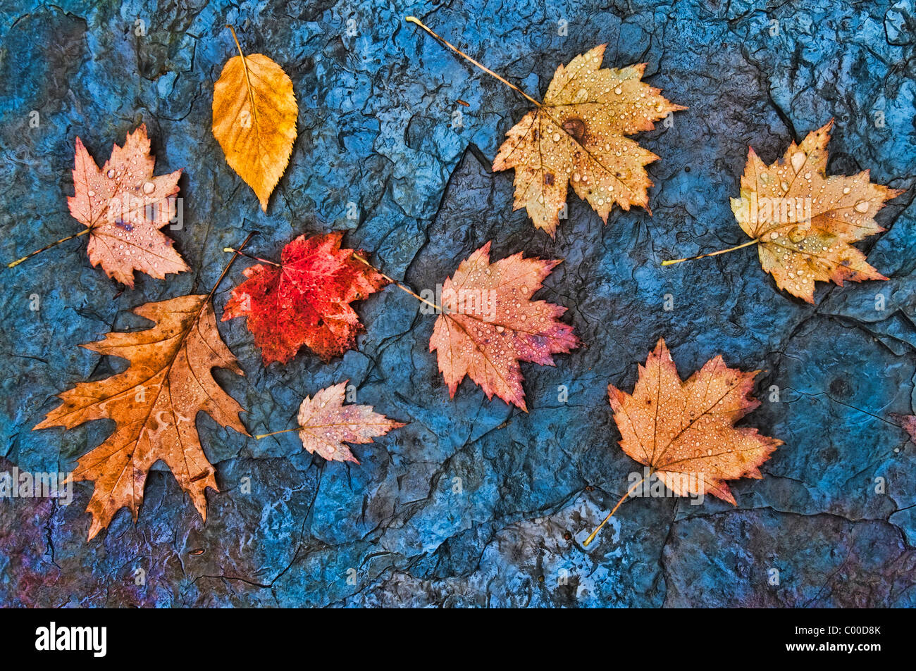 Rain drop covered fall leaves in a slate rock creek bed, Blue Hen Falls, Ohio - Stock Image