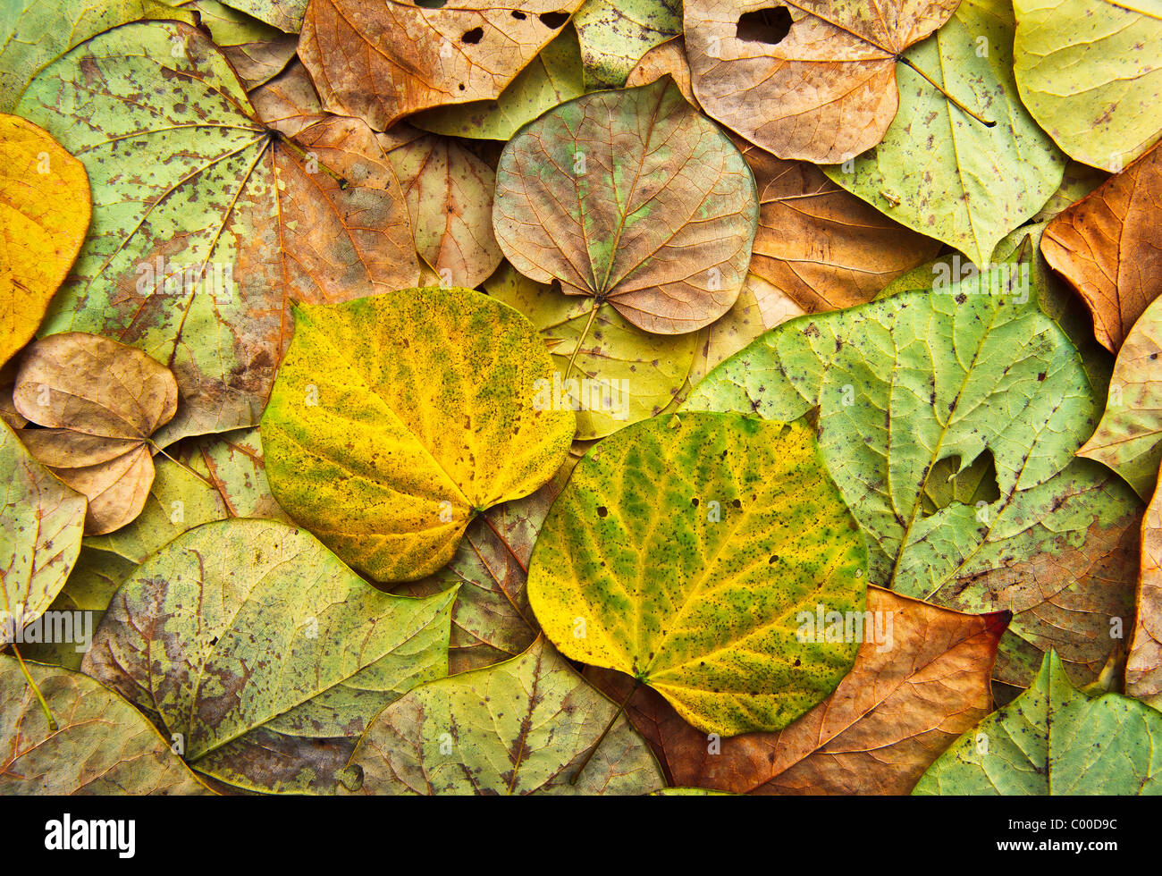 Colorful, vibrant Eastern Red Bud tree leaves form an intricate pattern, showing various states of returning back to the soil. Stock Photo