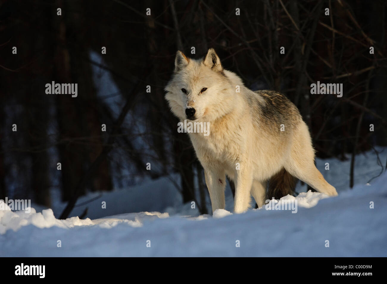 A white alpha male grey wolf watches over his pack in winter snow cover - Stock Image