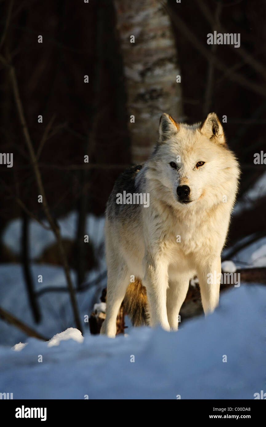 A spiritual white wolf overlooks a snow covered ridge, looking out upon his pack of other wolves. - Stock Image
