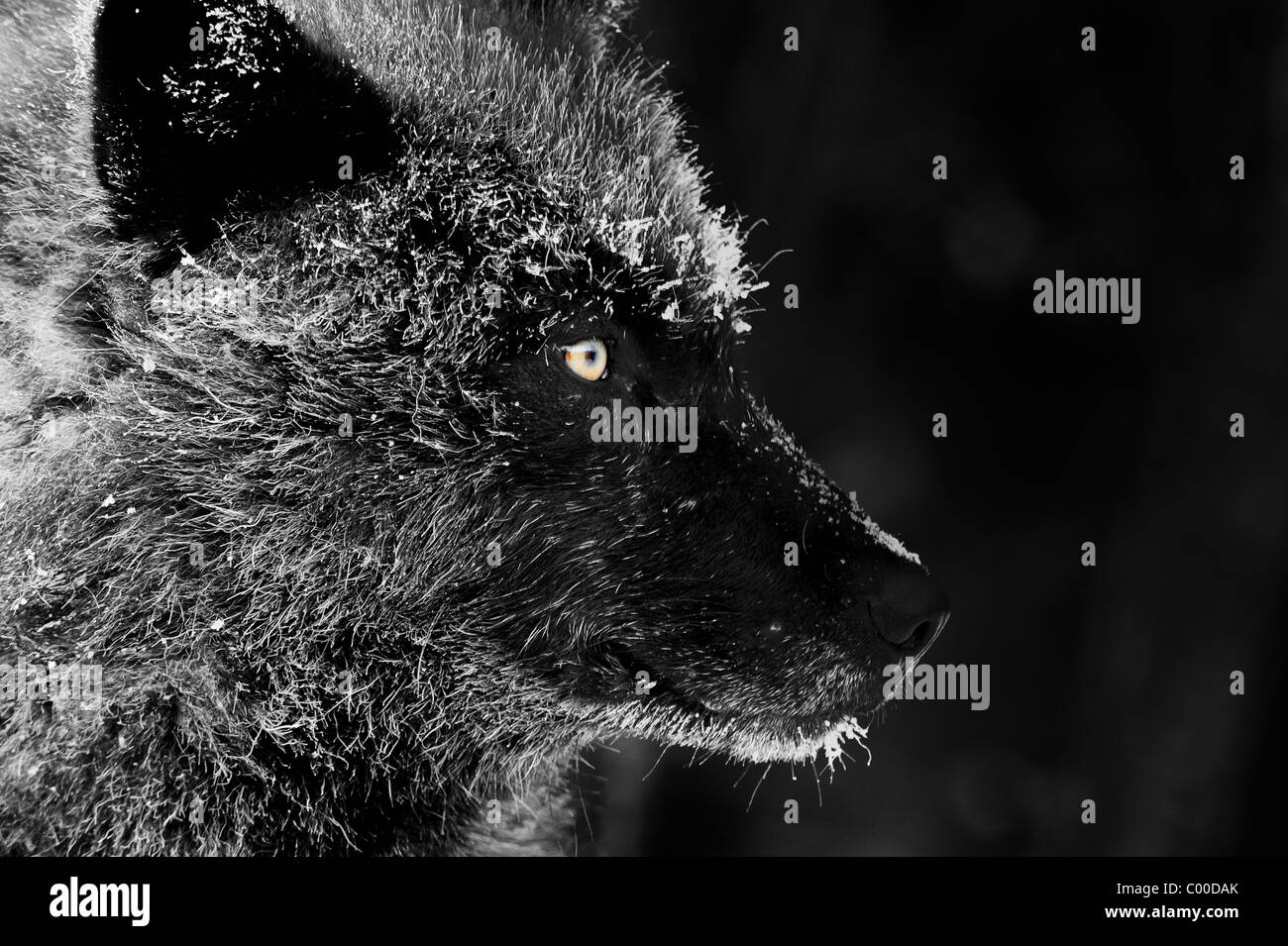 A black wolf face profile with frost covered fur from a cold winter evening in the Northwoods - Stock Image
