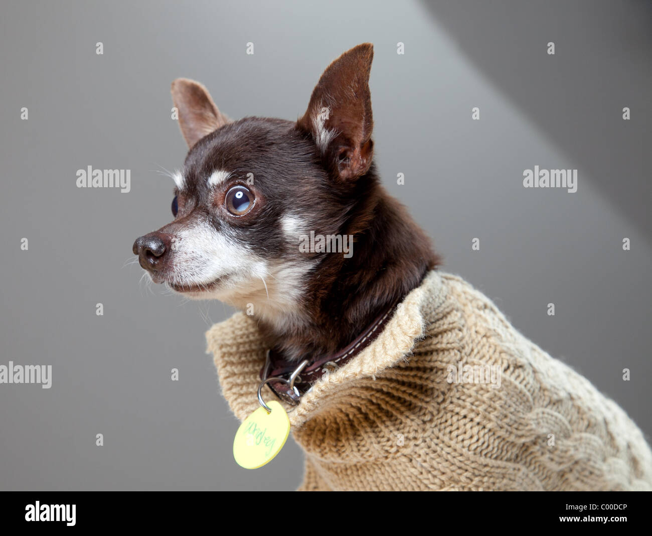 Studio photos of a dark brown Chihuahua dog in a light brown sweater - Stock Image