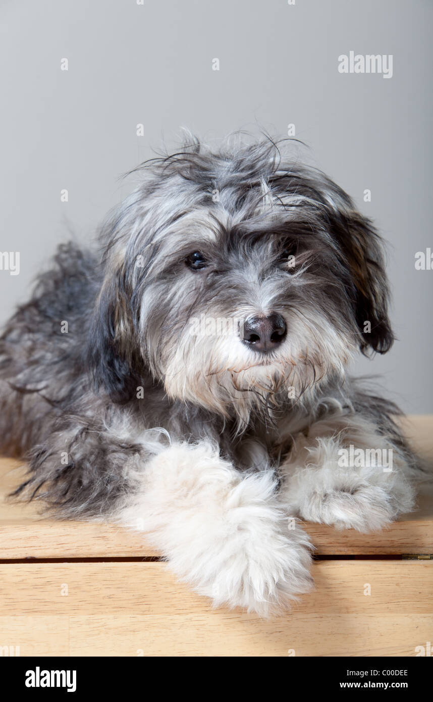 A studio portrait of a gray shaggy dog on a light colored, wooden table - Stock Image
