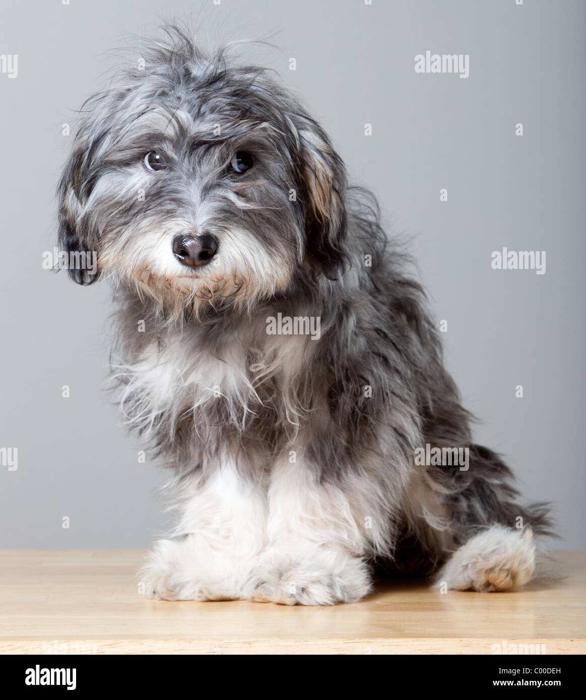 A Studio Portrait Of A Gray Shaggy Dog On A Light Colored Wooden