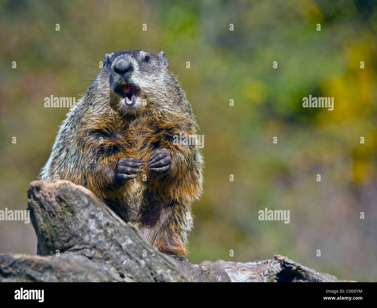 Close up of a woodchuck eating a peanut. The groundhog (Marmota monax), also known as a woodchuck or whistle-pig - Stock Image