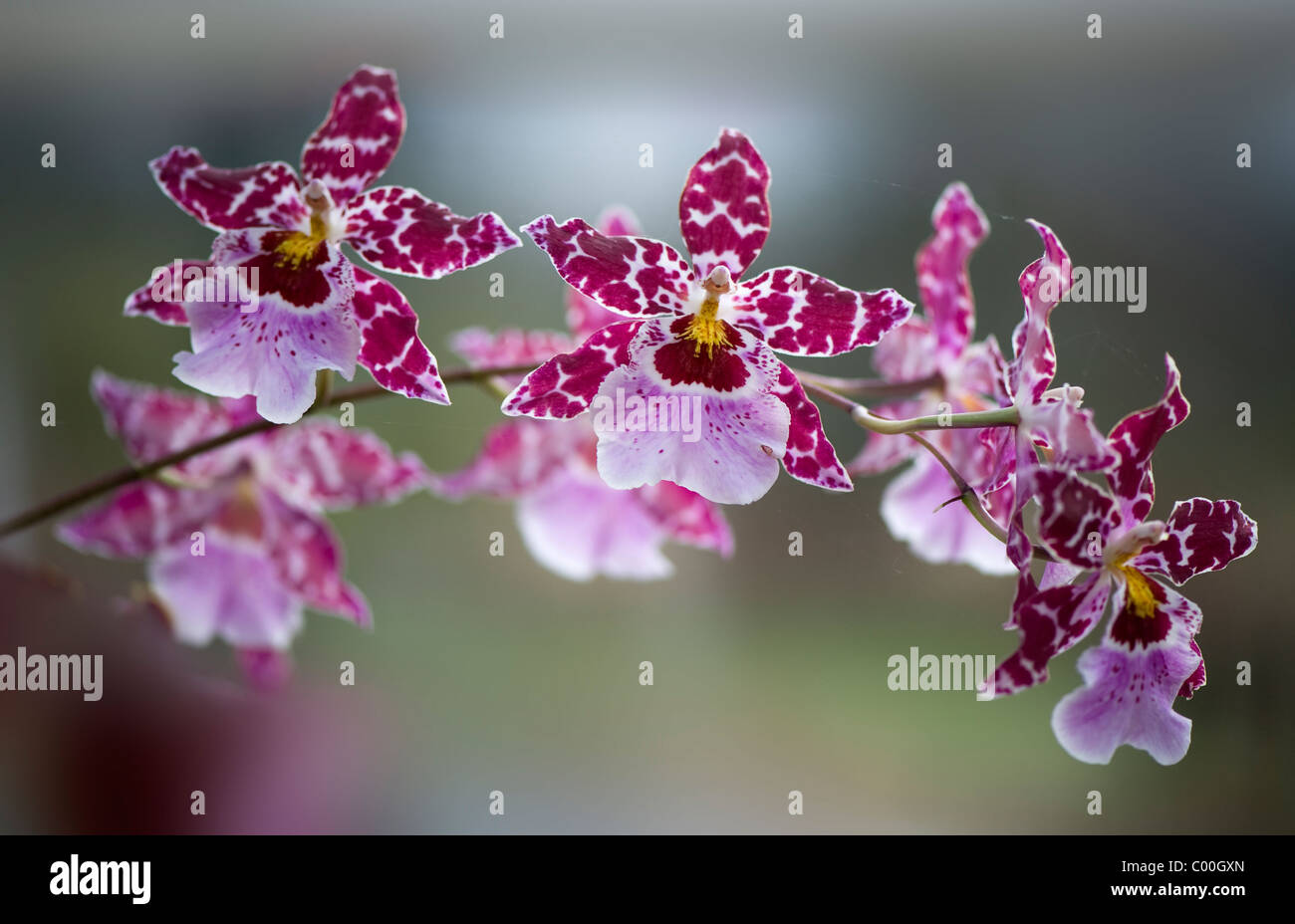 Tiger Orchids - Odontoglossum - Stock Image