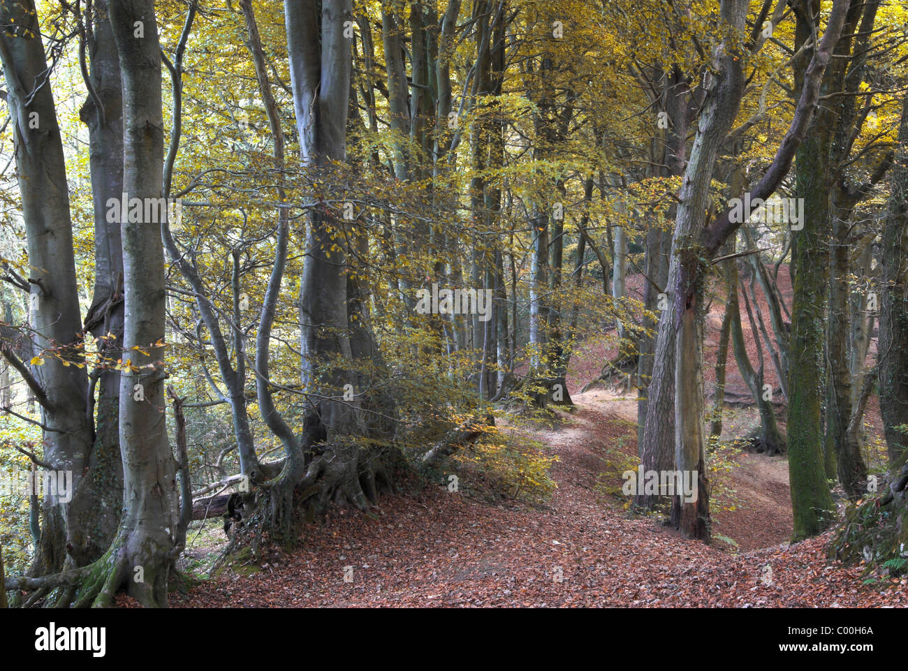 Core Hill Wood with beech trees in Autumn foliage, near Sidmouth, Devon, UK November 2007 - Stock Image