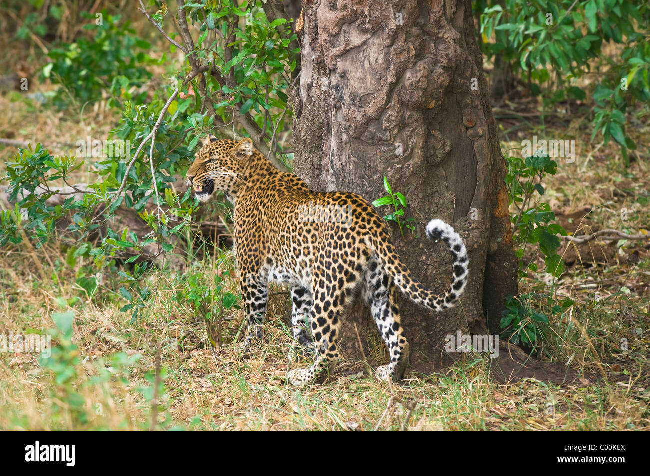 Panthera pardus - adult male leopard snarling and scent-marking against tree - Masai Mara National Reserve, Kenya, - Stock Image