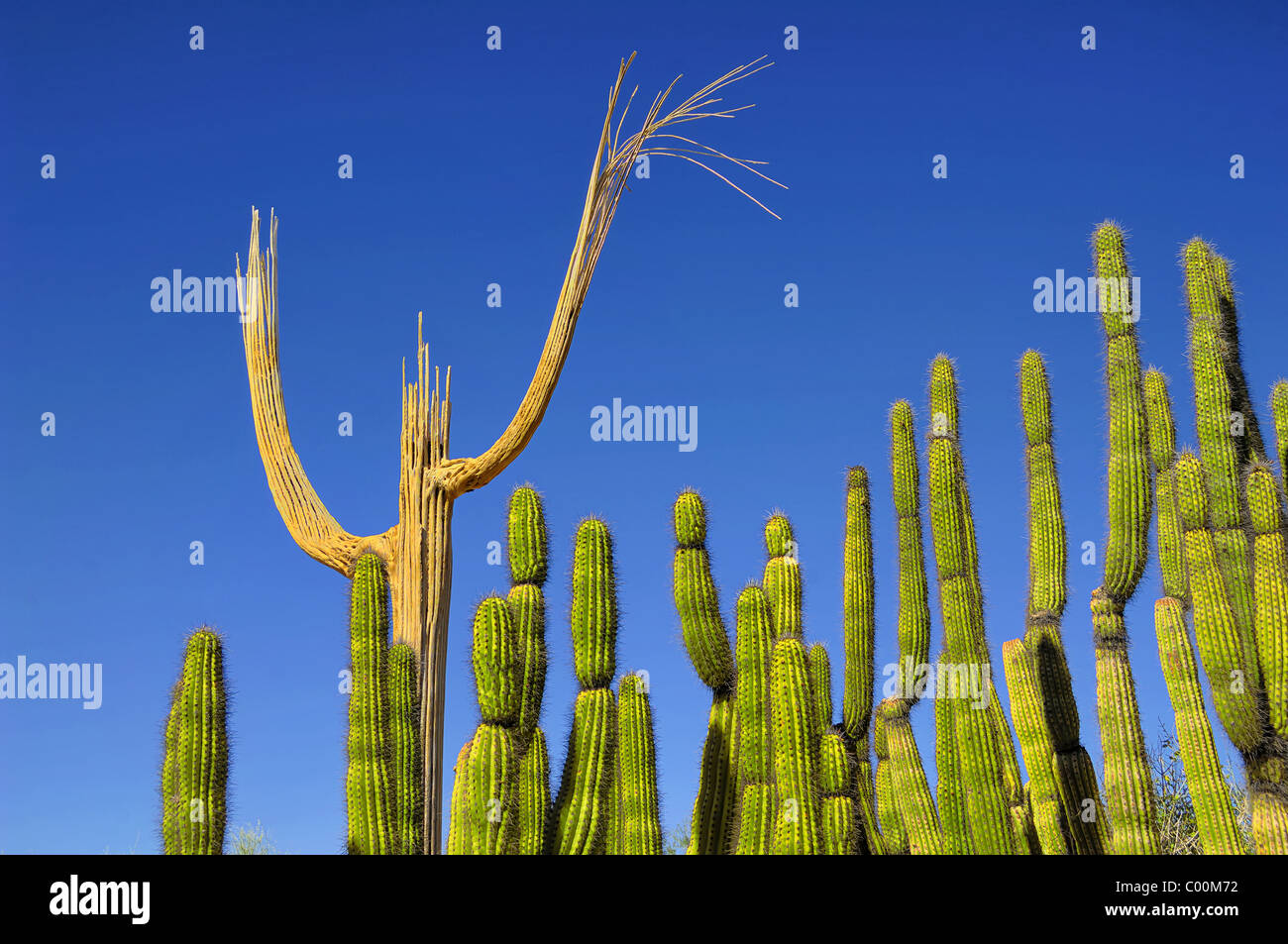 The skeleton of a Saguaro Cactus together with a group of Organ Pipe Cactii. Choirmaster and Choir ? Desert Museum - Stock Image