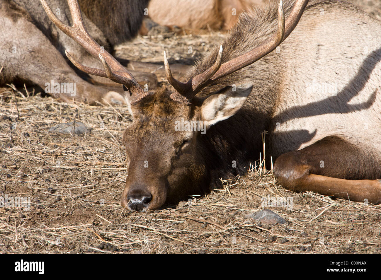 A Rocky Mountain Elk snoozes in the late morning sun at Oak Creek Wildlife Refuge near Naches, Washington. - Stock Image