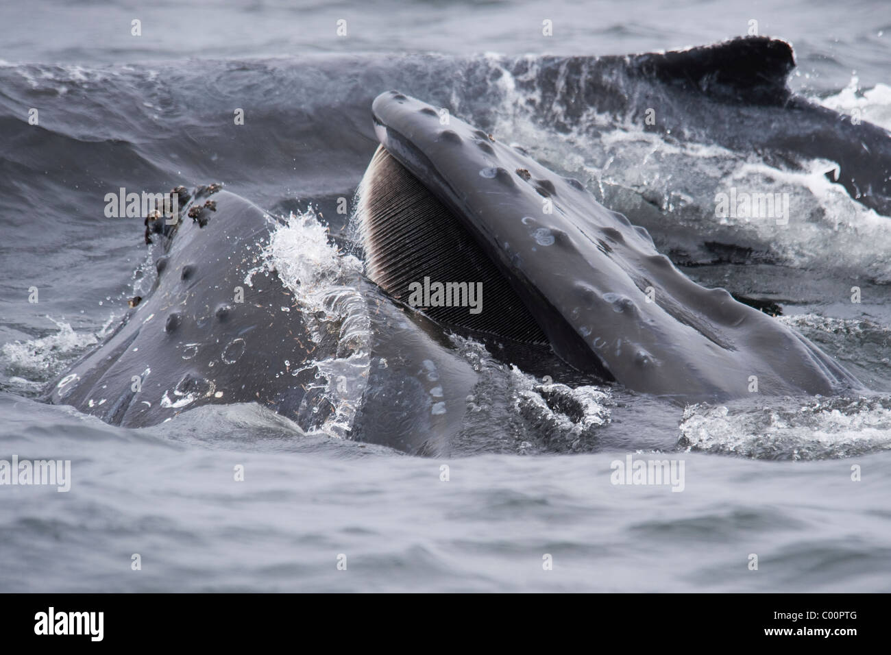 Humpback Whale (Megaptera novaeangliae) lunge-feeding on Krill. Monterey, California, Pacific Ocean. - Stock Image