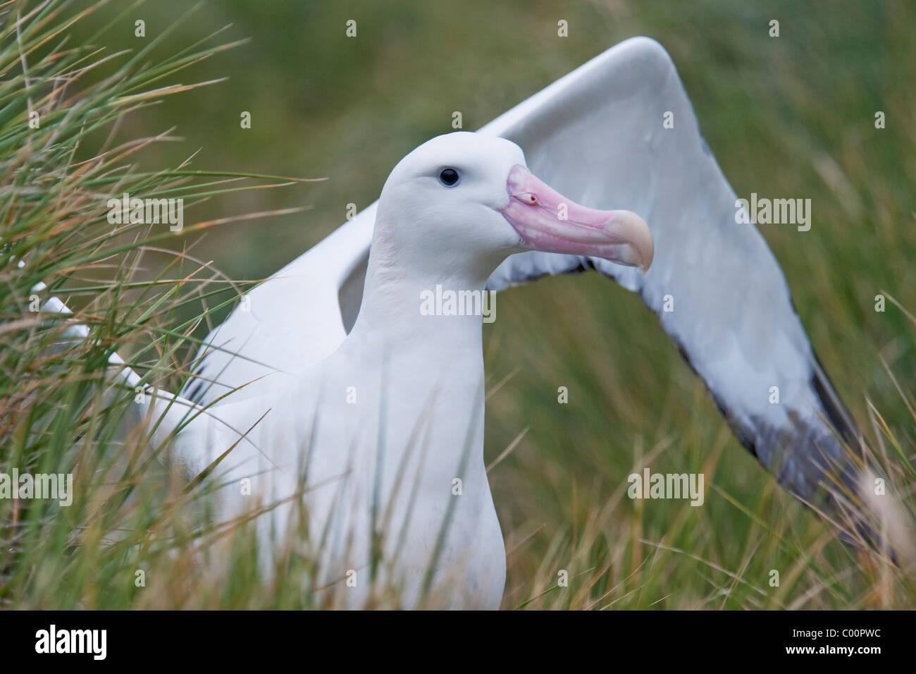 Wondering Albatross (Diomedea exulans) adult bird displaying. South Georgia, South Atlantic Ocean. - Stock Image